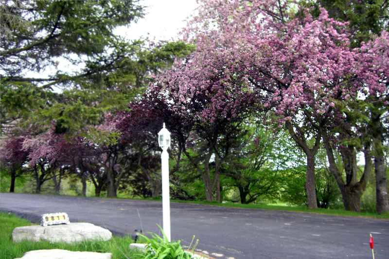 Blooming tree lined driveway
