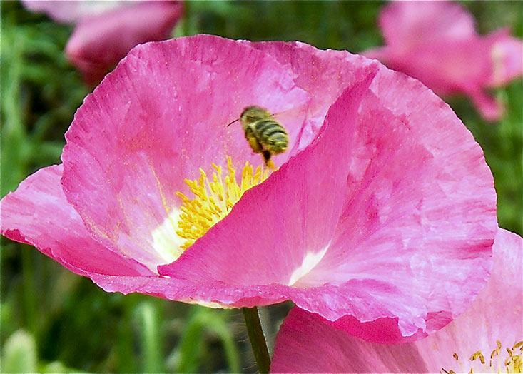 Gardens, Poppy, Bee