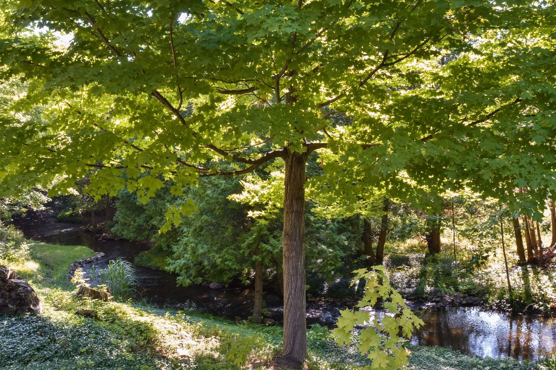 Maple Tree, Sheldon Creek