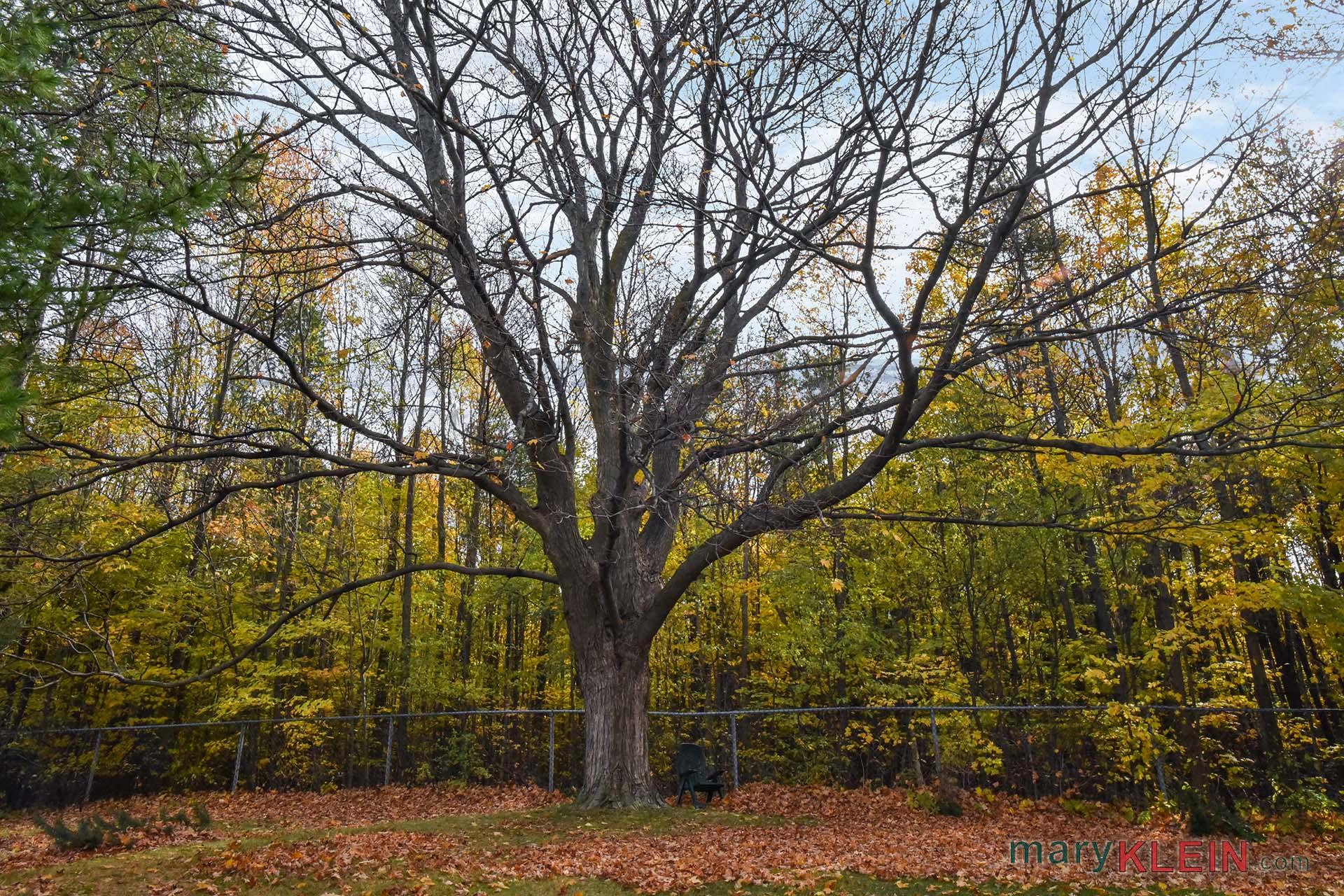 maple tree, leafless