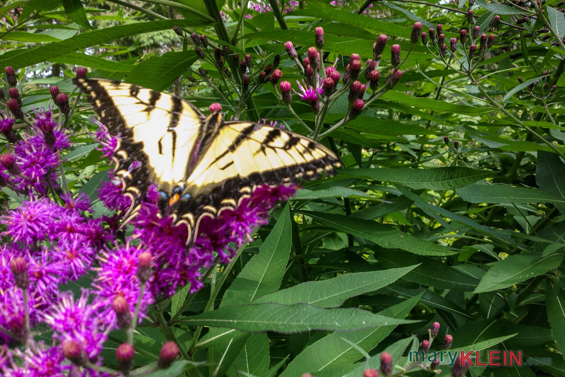 Nature, Butterfly, Swallowtail